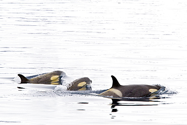 A small pod of Type B killer whales (Orcinus nanus) just outside Duse Bay in the Weddell Sea, Antarctica, Southern Ocean