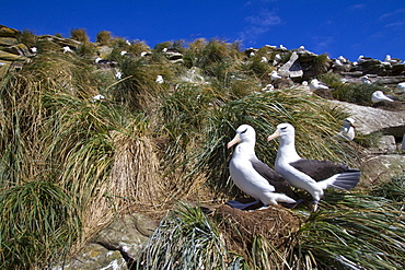Black-browed albatross (Thalassarche melanophrys) breeding colony on Carcass Island in the Falkland Islands, South Atlantic Ocean