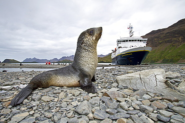 Antarctic fur seal pup (Arctocephalus gazella) near the abandoned whaling station at Stromness Bay on South Georgia, Southern Ocean