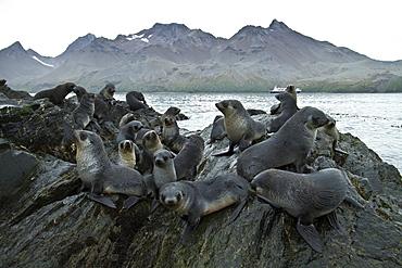 Antarctic fur seal pups (Arctocephalus gazella) playing in Fortuna Bay on South Georgia, Southern Ocean