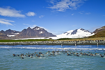 King penguins (Aptenodytes patagonicus) swimming near the beach at breeding and nesting colony at Salisbury Plains in the Bay of Isles, South Georgia, Southern Ocean.