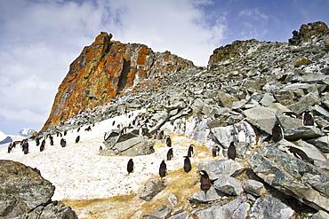 Chinstrap penguin (Pygoscelis antarctica) breeding and molting at Half Moon Island, Antarctica, Southern Ocean