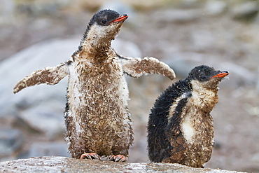 Gentoo penguin (Pygoscelis papua) chicks covered with mud and guano on Cuverville Island, Antarctica, Southern Ocean