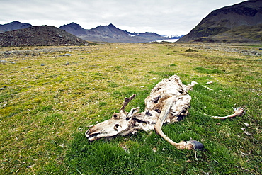 The carcass of a reindeer (Rangifer tarandus) in Fortuna Bay, South Georgia