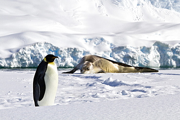 A lone adult emperor penguin (Aptenodytes forsteri) and crabeater seal on sea ice in the Gullet between Adelaide Island and the Antarctic Peninsula, Antarctica.