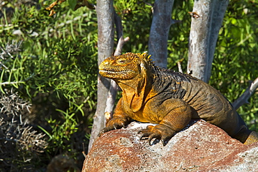 The very colorful Galapagos land iguana (Conolophus subcristatus) in the Galapagos Island Archipelago, Ecuador. MORE INFO This large land iguana is endemic to the Galapagos Islands.