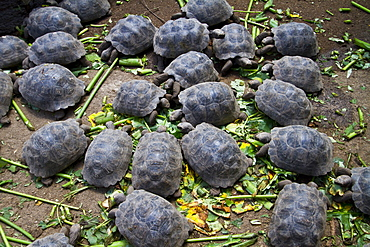 Young Captive Galapagos giant tortoise (Geochelone elephantopus) being fed at the tortuguero breeding station, Puerto Villamil on Isabela Island in the Galapagos Island Archipelago, Ecuador