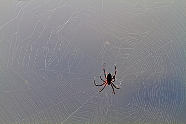 Macro photograph of a spider (Order Araneae) in the Galapagos Island Archipelago, Ecuador.