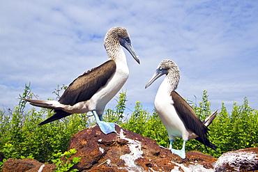 Blue-footed booby (Sula nebouxii) courtship behavior in the Galapagos Island Archipelago, Ecuador