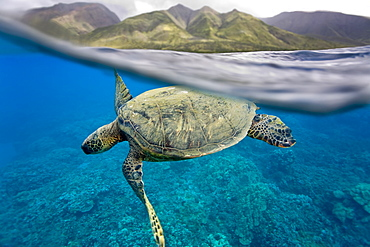 Green sea turtle (Chelonia mydas) off Olowalu Reef on the west side of the island of Maui, Hawaii, USA. - 979-9563