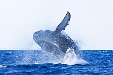 Humpback whale (Megaptera novaeangliae) in the AuAu Channel between the islands of Maui and Lanai, Hawaii, USA