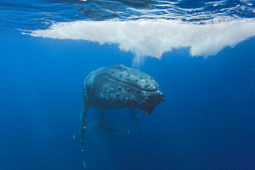 Humpback whale (Megaptera novaeangliae) underwater in the AuAu Channel between the islands of Maui and Lanai, Hawaii, USA