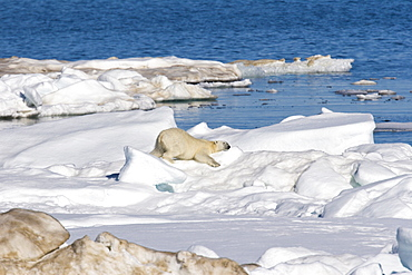 Polar bear (Ursus maritimus) rubbing itself to clean its fur on multi-year ice floes in the Barents Sea off the eastern coast of EdgeØya (Edge Island) in the Svalbard Archipelago, Norway.