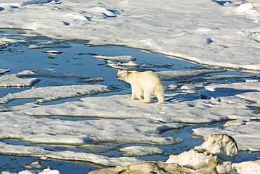 Polar bear (Ursus maritimus) on multi-year ice floes in the Barents Sea off the eastern coast of EdgeØya (Edge Island) in the Svalbard Archipelago, Norway.