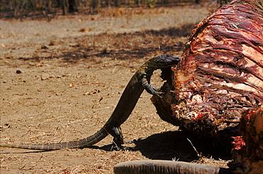 Komodo dragon juvenile scavenging water buffalo carcass, Komodo Island, Indonesia