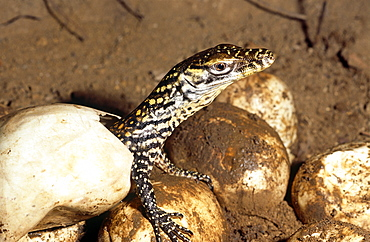 Young hatchling Komodo dragon (Varanus komodoensis).  one of thirty three eggs only twenty eight hatched.