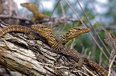 Komodo dragon (Varanus komodoensis) hatchlings, which spend 2 - 3 years off the gound in the canopy.
