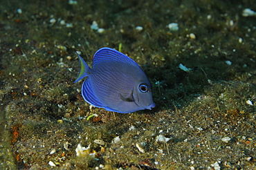 Blue Tang grazing on the hull of the wreck of the ''Blue Plunder'' - Bahamas