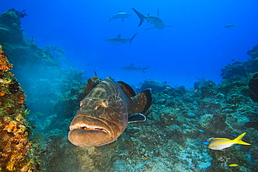 large black grouper, Mycteroperca bonaci, and Caribbean Reef Sharks, Carcharhinus perezi, black grouper can grow up to 1.5 m weighing 100 kg, Grand Bahama, Bahamas, Caribbean Sea, Atlantic Ocean.