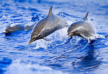 pantropical spotted dolphins, Stenella attenuata, jumping out of boat wake, Kona Coast, Big Island, Hawaii, USA, Pacific Ocean