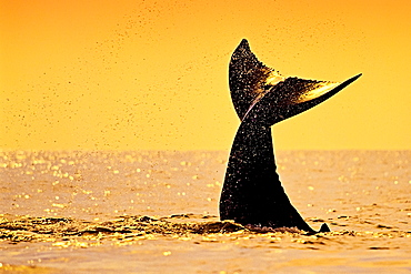 Humpback whale (Megaptera novaeangliae) calf tail-slapping or lobtailing at sunset, fluke silhouette, Hawaii, United States of America, Pacific