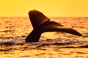 humpback whale, Megaptera novaeangliae, fluke-up dive, under golden light from setting sun, Hawaii, USA, Pacific Ocean