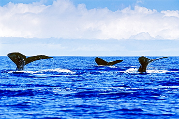 humpback whales, Megaptera novaeangliae, fluke-up dive or fluking, Hawaii, USA, Pacific Ocean