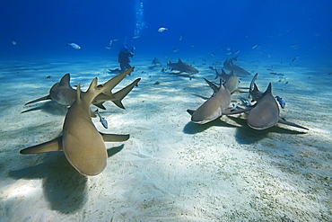 lemon sharks, Negaprion brevirostris, and scuba diver, West End, Little Bahama Bank, off Grand Bahama, Bahamas, Caribbean Sea, Atlantic Ocean, Model Released MR-000054