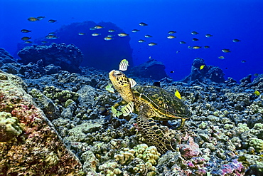 green sea turtle, Chelonia mydas, being cleaned by convict tang, Acanthurus triostegus, and gold-ring surgeonfish, Ctenochaetus strigosus, Kona, Big Island, Hawaii, Pacific Ocean