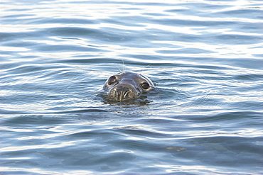 Grey seal (Halichoerus grypus) head above surface, Cardigan Bay, West Wales, UK   (RR)