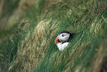 Atlantic puffin (Fratercula arctica) sitting at entrance to burrow. Sumburgh Head, Shetland Islands, Scotland