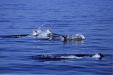 Pod of Risso's dolphins (Grampus griseus) Monterey Bay, California, USA