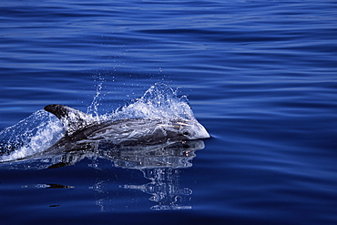 Risso's dolphin (Grampus griseus) surfacing at speed with eye and natural scarrin visible. Monterey Bay, California, USA