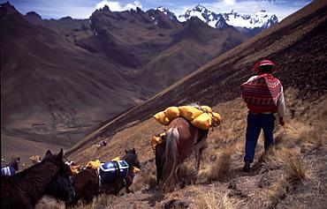 Peru -  Trek horses. Inca Trail near Machu Picchu.