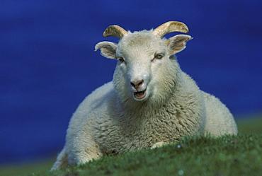 shetland sheep, ovis aries, male chewing the cud, unst, shetland, scotland