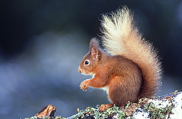 red squirrel: sciurus vulgaris in winter perthshire, scotl and