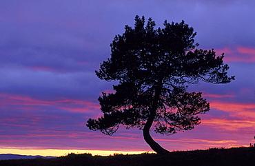 scots pine, pinus sylvestris, at dusk, glen lethnot, angus, scot.