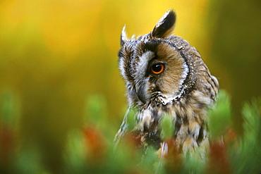 Long eared owl, Asio otus, portrait, Lothian, Scotland, UK