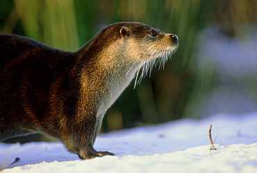 otter: lutra lutra on pond bank otter park aqualutra