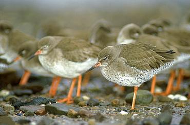 redshank, tringa totanus, flocking to reduce heat loss, angus, scotland