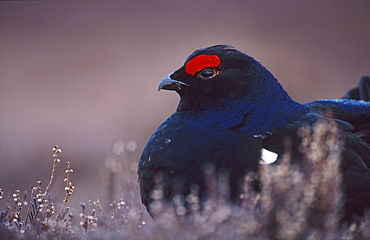black grouse, tetrao tetrix, male on lek site, angus, scotland