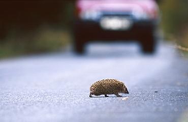 european hedgehog, erinaceus europaeus, crossing road, bohemia, europe