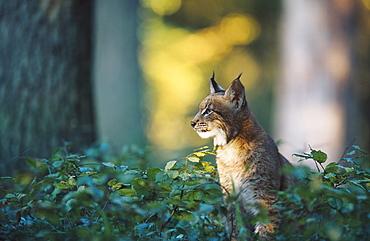 european lynx, felis lynx, in mixed forest, bohemia, europe