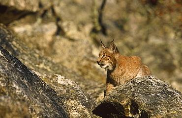 european lynx, felis lynx, young amongst rock, bohemia, europe