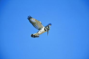 Lesser pied kingfisher, Ceryle rudis, hunting, Zichron Yaakov, Israel