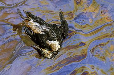 pollution: guillemot in oil slick. sands of forvie nnr, aberdeenshire, scotland