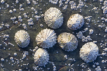 Common limpet (Patella vulgata) surrounded by acorn barnacles (Balanus balanoides), Loch Carron, Wester Ross, Scotland