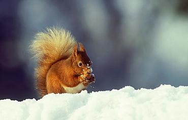 red squirrel: sciurus vulgaris in snow meikleour, perthshi re, scot. dorset