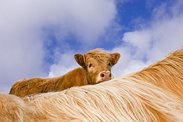 Highland calf looking over the back of its mother, Tiree, Scotland
