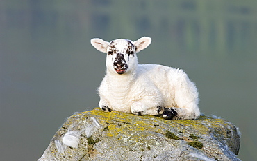 Lamb sitting on a rock, Glen Finglas, Stirlingshire, Scotland